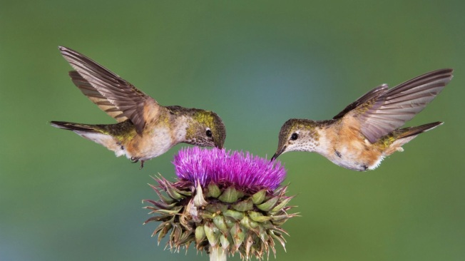bird-wallpaper-with-two-bird-eating-from-a-flower-flying-birds-wallpapers